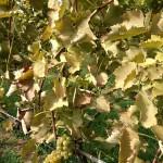 Bronzing of Leaves